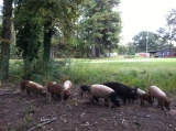 Locally-Raised Pastured Pork Now Available!