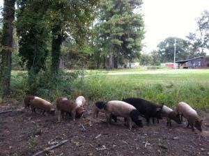 Local Pastured Pork