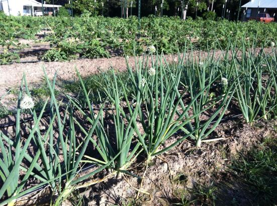Mahaffey Farms onions