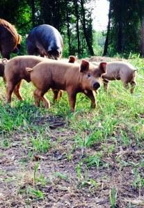 Shreveport Bossier Pasture Raised Pork